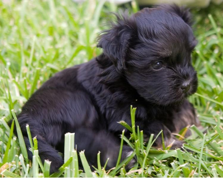 Havanese puppy in pure black laying on the grass.JPG