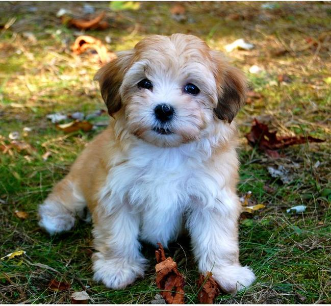 Havanese Puppy In Tan And White Colors Jpg 6 Comments