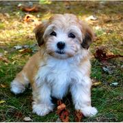 Havanese puppy in tan and white colors.JPG