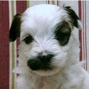 Havanese puppy in white with dark dots.JPG