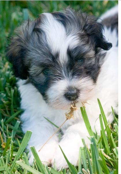 Havanese puppy photo.JPG
