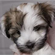 Long hair havanese puppy looking so cute.JPG