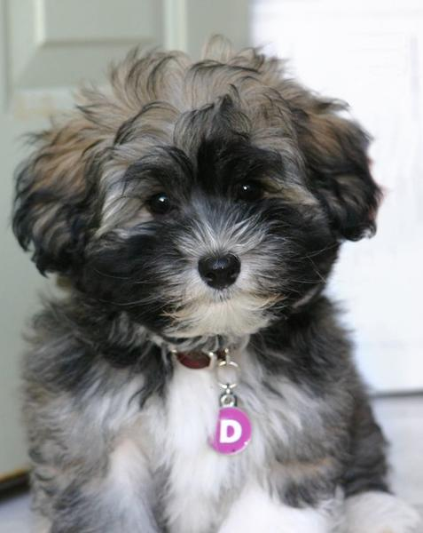 Long Puffy Havanese puppy in white black and grey colors.JPG