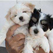 Photos of Havanese puppies two toned colors black white and tan white.JPG
