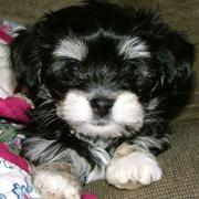 picture of havanese pup in black and white.JPG