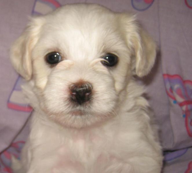 White Havanese puppy d...