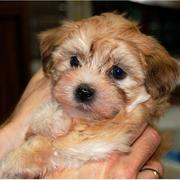 Young tan havanese puppy looking straight at the camera.JPG