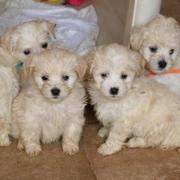 Havanese puppies in tan color.JPG
