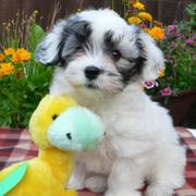 Havanese puppy looking so cute with its yellow dog toy.JPG