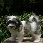 Havanese puppy on a table in the garden.JPG