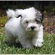 White and black havanese puppy running on the garden.JPG