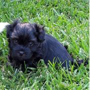 a havanese puppy in black on the grass looking so sweet.JPG