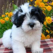 White and black Havanese puppy looking at the camera.JPG