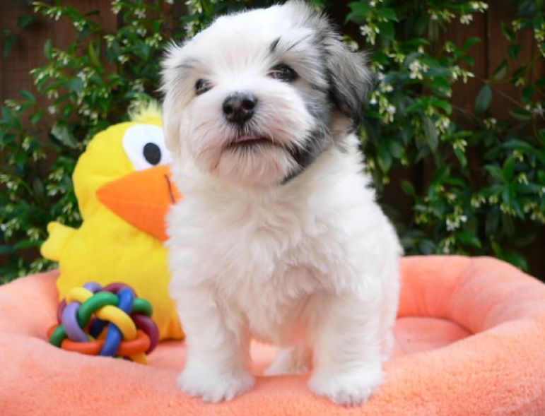 Havanese pup on its bright peach dog bed with full of colorful dog toys.JPG