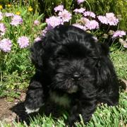 black havanese puppy in the garden on a sunny day.JPG