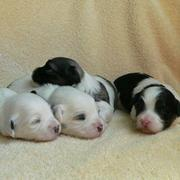 mini havanese puppies picture.JPG