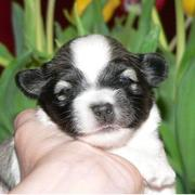 young havanese puppy in black and white photo.JPG