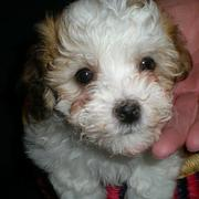 picture of havanese puppy.JPG