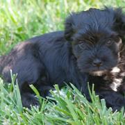 Black Havanese puppy photo.JPG