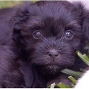 Black puppy face picture of a young havanese dog.JPG