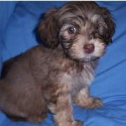Chocolate Havanese puppy photos.JPG