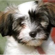 Close up picture puppy face of havanese dog.JPG