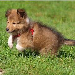 Shetland Sheepdog Puppy Pictures