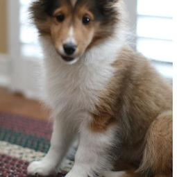 Pretty puppy picture of Shetland Sheepdog.JPG