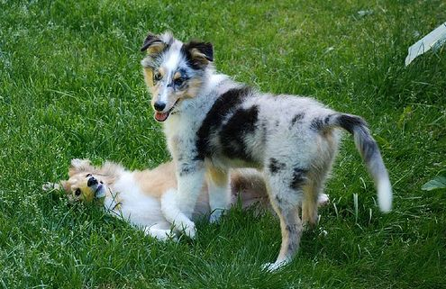 shetland sheepdogs puppies on the grass playing.JPG