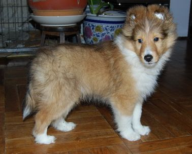 Long hair Shetland Sheepdog pup photo.JPG