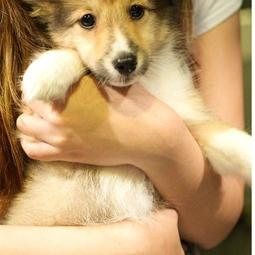 Shetland Sheepdog puppy looking straight to the camera.JPG