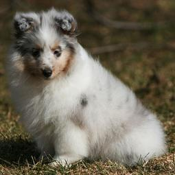 Young white Shetland Sheepdog puppy with dark patterns.JPG