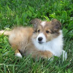 American Shetland Sheepdog puppy in tan and white laying on the grass.JPG