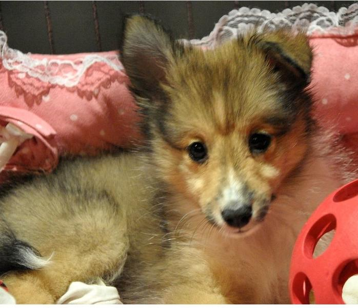 Long hair Shetland Sheepdog pup photos.JPG