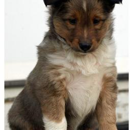 Photo of Shetland Sheepdog puppy in three colors.JPG