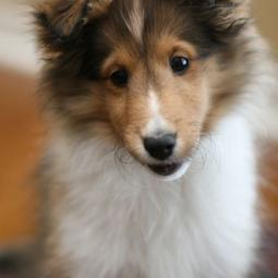 Shetland Sheepdog puppy face pictures.JPG