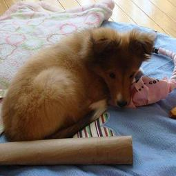 Tan shetland sheepdog in its bed with full of toys.JPG