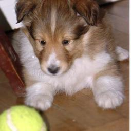 White and tan Shetland Sheepdog puppy looking at the tennis.JPG
