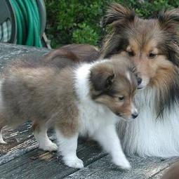 shetland sheepdog puppy with its mommy.JPG
