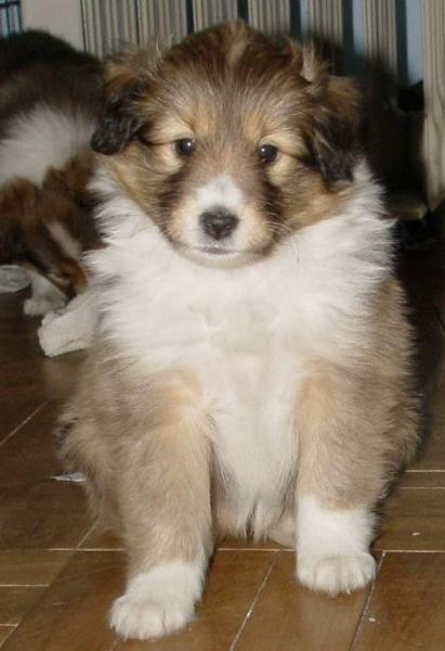 Very puffy Shetland Sheepdog puppy pictures.JPG