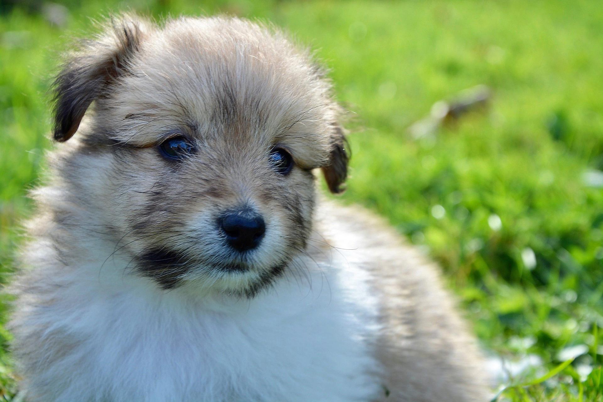Mini Sheltie Puppies Mini shetland sheepdog puppy