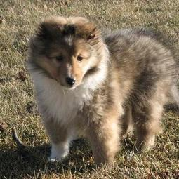 Shetland Sheepdog puppy with long hair in three tones.JPG
