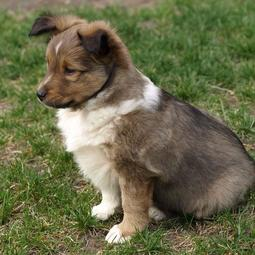 Three toned colors Shetland Sheepdog puppy images.JPG
