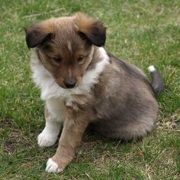 young shetland sheepdog pic in three colors.JPG
