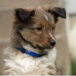 Cute puppy face of a Shetland Sheepdog.JPG
