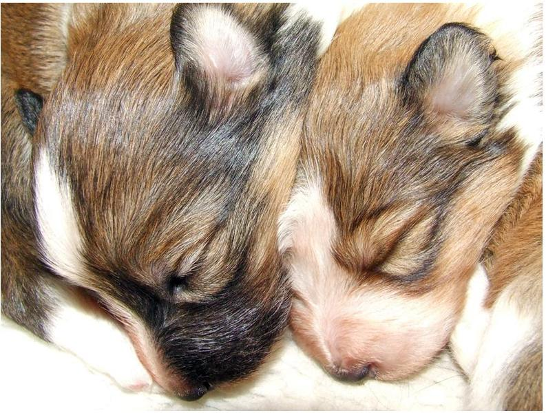 Newborn puppy picture of Shetland Sheepdogs.JPG