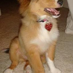 picture of shetland sheepdog puppy in tan and white.JPG