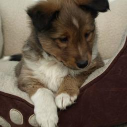Shetland Sheepdog puppy laying comfortablely in its dog bed.JPG