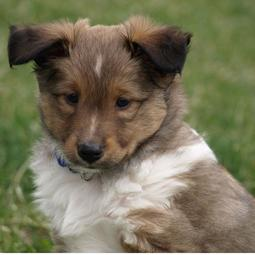 Tri color shetland sheepdog puppy image.JPG