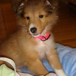 a shetland sheepdog puppy pictures.JPG
